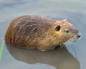Nutria trovata morta a riva su spiaggia libera: arrivata da un fiume