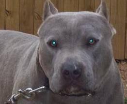 Pittbull abbandonato per ore in auto chiusa liberato da veterinario coraggioso.