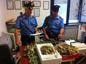 Una piantagione di papaveri da oppio sul terrazzo. Arrestato cinese