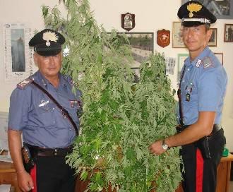 Coltiva piante di hashish da 1,70 mt dietro casa. Arrestato 33enne