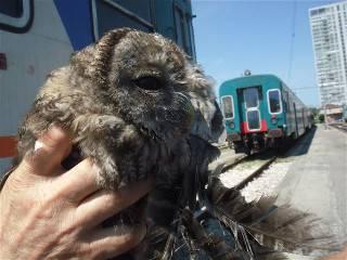 Rapace imprigionato sul treno, salvato alla stazione e consegnato al WWF