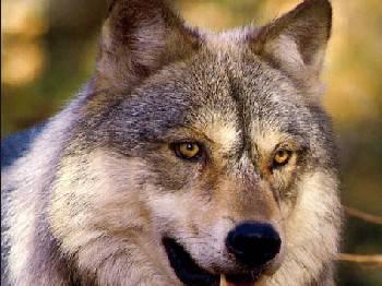 Dalla Regione 225.000 € contro attacchi di lupi ad allevamenti