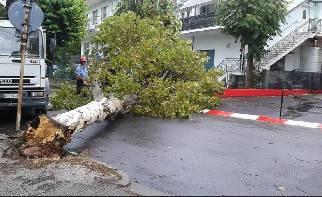 Grosso albero cade in via Toscana. Nessun danno a cose o persone
