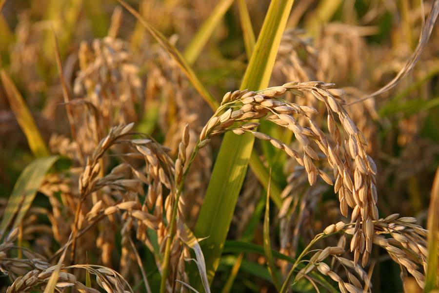 Il riso è tra gli alimenti naturalmente senza glutine