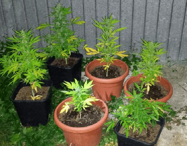 Marijuana coltivata in fabbrica abbandonata, arrestati due giovani a Misano