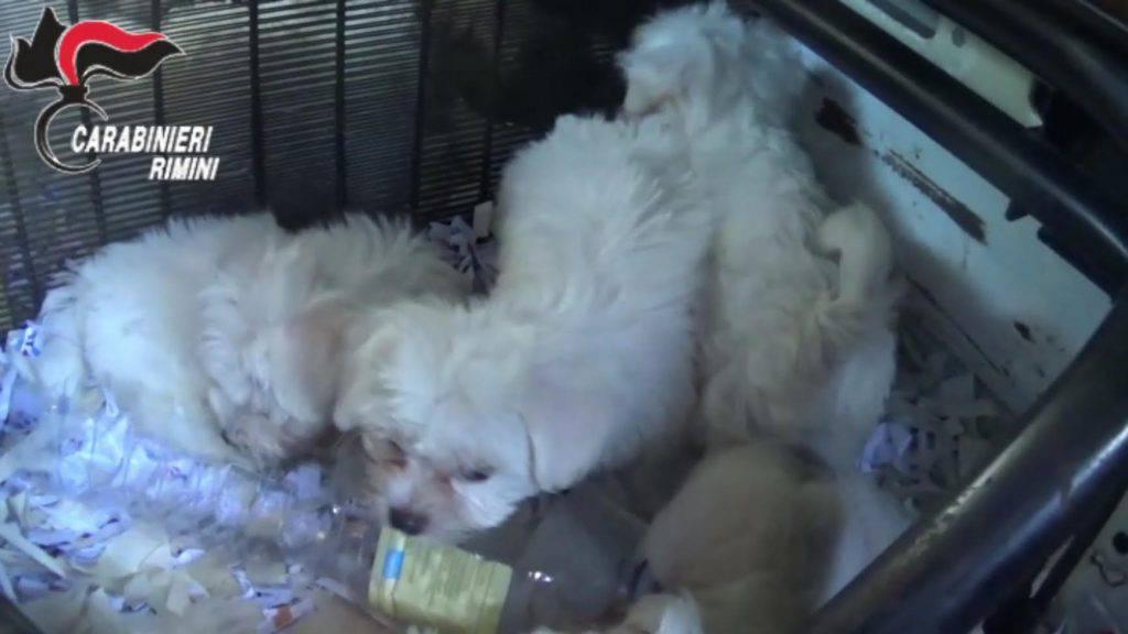 Salvati dodici cuccioli di cane nascosti in un carro attrezzi