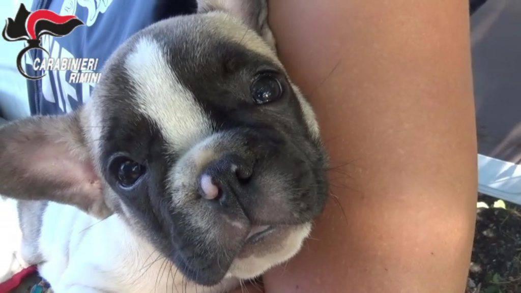 Rimini, 12 cuccioli in carro attrezzi: tre denunciati