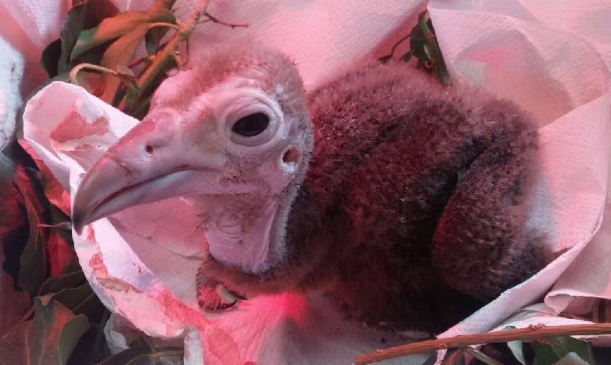 A Oltremare è nato un avvoltoio. Un sondaggio per il nome