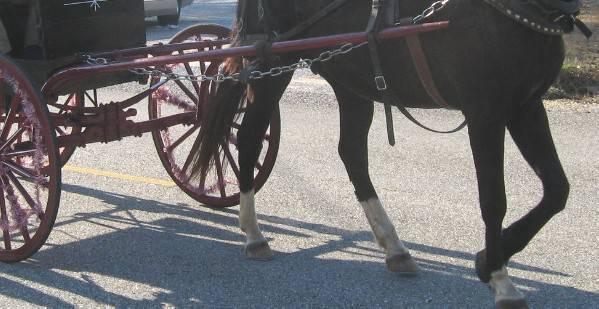 Cavallo imbizzarrito alla sfilata, conducente del calesse al Bufalini