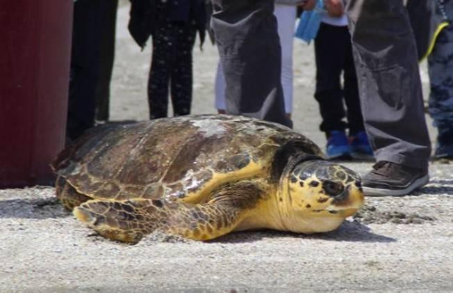 Il primo maggio la tartaruga Pina torna in mare