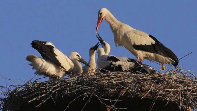 Cinque nuovi cicognini nati a Oltremare